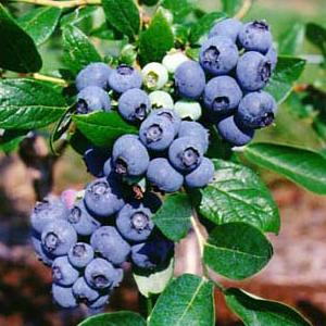 lekovito-bilje-Borovnica-Vaccinium-myrtillus