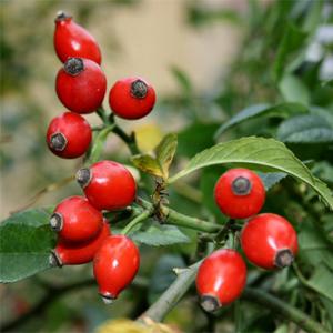 sipurak-lekovito-bilje